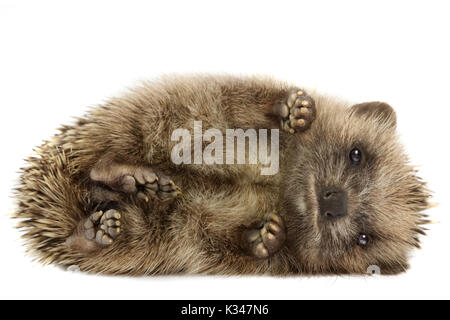 Small hedgehog (Erinaceus europaeus), curled up on its side, on a white background - Stock Photo