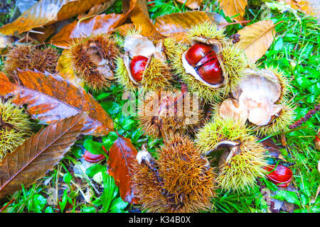 Fresh chestnuts with open husk on fallen autumn leaves. Autumn Impression - Stock Photo