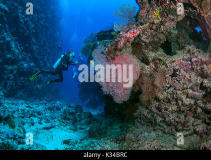 Female scuba diver with video camera and torch in hand shines light on red gorgonian seafan. in Beqa passage in - Stock Photo