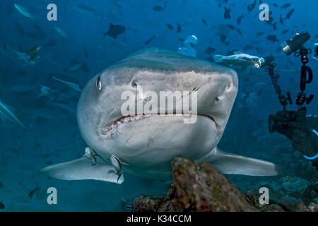 Videographer takes close up images of a large tiger shark as it approaches within arm's length. - Stock Photo