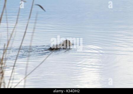 Coypu Animal Swimming Away in the Lake Water - Stock Photo