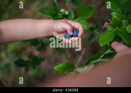 Child hands holding fresh blueberries from a farm. - Stock Photo