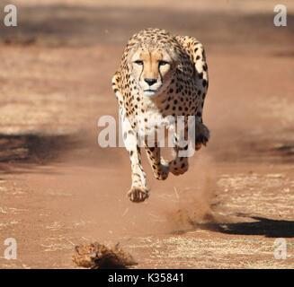 Running cheetah frontal view - Stock Photo