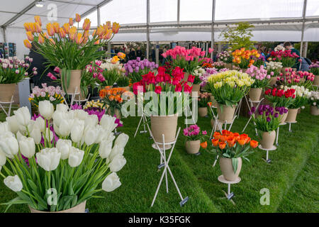An impressive display of different tulip varieties in the Floral Marquee at the 2017 RHS Malvern Spring Show, Worcestershire, - Stock Photo