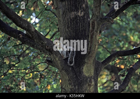 Squirrel in tree - Stock Photo