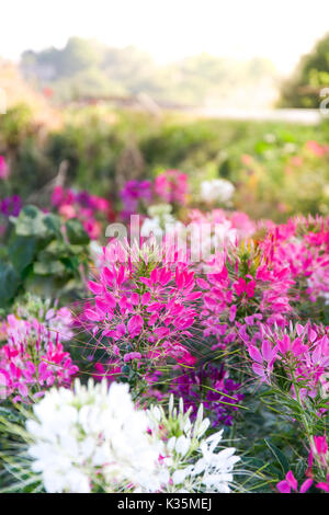 Pink And White Spider flower(Cleome hassleriana) in the garden  background. - Stock Photo