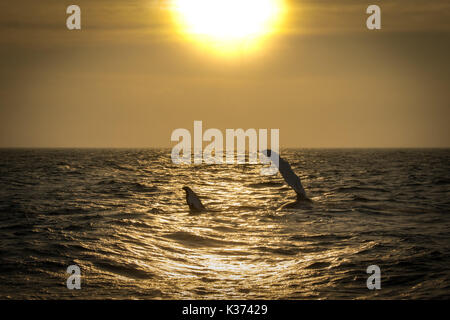 A Humpback Whale fin slapping at sunset to communicate with her baby in Cape Cod Massachusetts. - Stock Photo