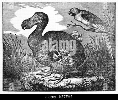 Dodo (Raphus cucullatus), extinct flightless bird, in a swamp, his natural environment. Old Illustration by unidentified author published on Magasin Pittoresque Paris 1834
