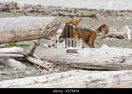 A red fox adult drags a beaver skin along the beach at the McNeil River State Game Sanctuary on the Kenai Peninsula, - Stock Photo