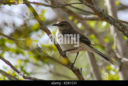 Northern Mockingbird Perched on a Tree Branch - Stock Photo