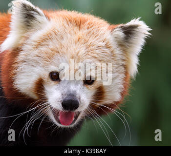 Red panda (Ailurus fulgens) at Blank Zoo Des Moines, IA, USA - Stock Photo