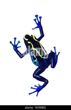 Dyeing poison dart frog (Dendrobates tinctorius) isolated on white background - Stock Photo