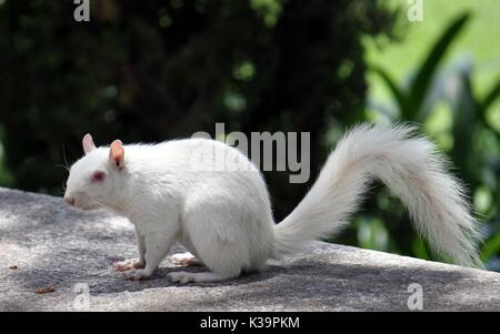 Albino Squirrel In the Company's Garden, Cape Town - Stock Photo