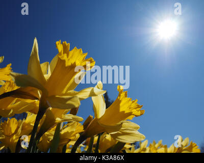 Yellow Jonquils worship the warm morning sun on a spring day (Narcissus jonquilla). The Jonquil is one of the first - Stock Photo
