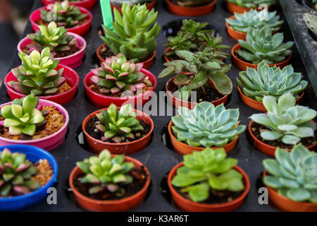 Tiny succulents in  pot on table background. Home interior decoration - Stock Photo