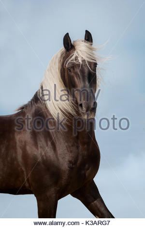 Lusitano chocolate stallion photographed in Spain on blue sky - Stock Photo
