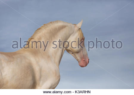 Lusitano perlino stallion photographed in Spain on blue sky - Stock Photo