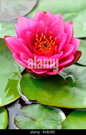 Water lily (Nymphaea), pink flower, Germany