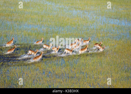 Red Lechwe (Kobus leche leche), running in a freshwater marsh, aerial view, Okavango Delta, Moremi Game Reserve, - Stock Photo