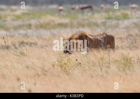 African lion (Panthera leo), young male walking in dry grass, Etosha National Park, Namibia - Stock Photo