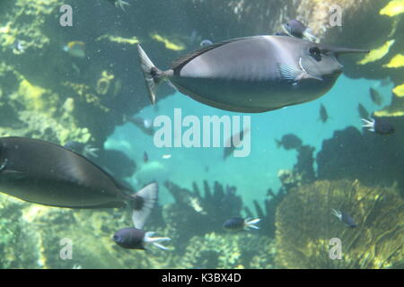 Shoal of Unicorn Fish (Naso Unicornis) in Coral Reef, Queensland, Australia - Stock Photo