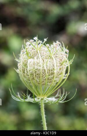 Daucus carota, whose common names include wild carrot, bird's nest, bishop's lace, and Queen Anne's lace - Stock Photo