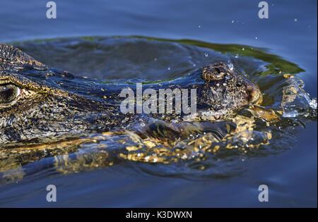 Brazil, Pantanal, swimming cayman, Caiman yacare, medium close-up, detail, - Stock Photo