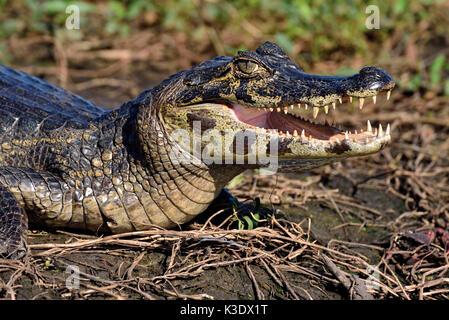 Brazil, Pantanal, yacare caiman, Caiman yacare, sunbathing at the riverside, - Stock Photo