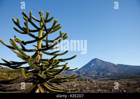 Chile, Araucania, national park Conguillio, volcano Llaima, Araukarie, - Stock Photo