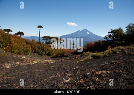 Chile, Araucania, national park Conguillio, volcano Llaima, Araukarien, - Stock Photo