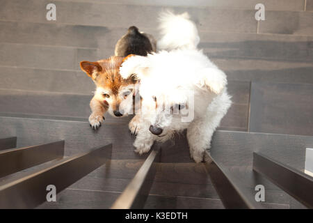 two dogs stand on their hind legs at a railing waiting - Stock Photo