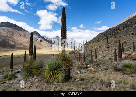 Puya raimondii plant near Pastoruri glacier, Peru - Stock Photo