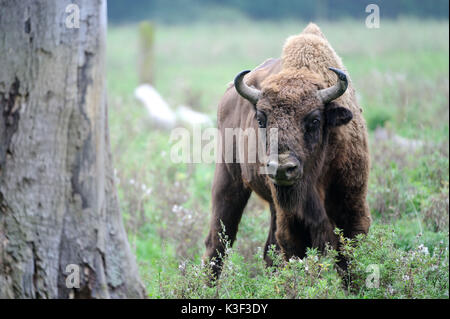 Bison in autumn - Stock Photo