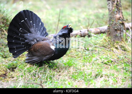Capercaillie, courtship display in the Bavarian alps - Stock Photo