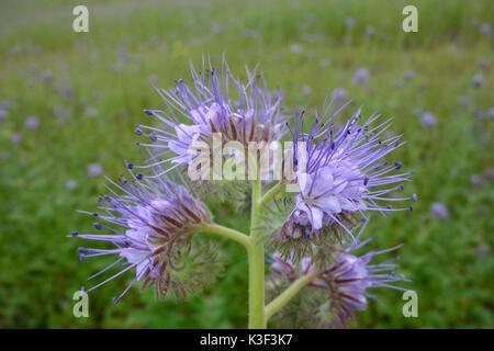 Flower, fiddleneck, Phacelia tanacetifolia, green fertilizer - Stock Photo
