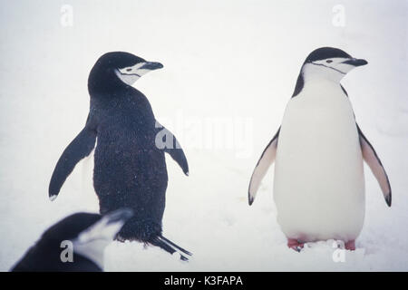 Rein penguins in Antarctic - Stock Photo