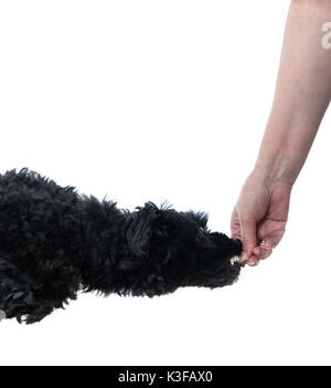 Black poodle leaping for treat in hand - Stock Photo