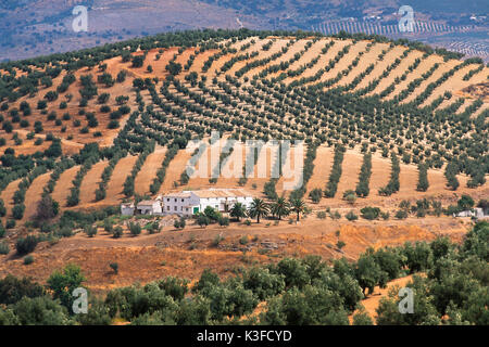 Olive fields in Andalusia, Spain - Stock Photo