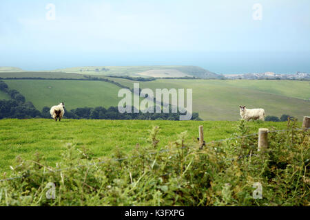 Two sheep on a hillside overlooking the English Channel, part of a larger flock on the edges of Bridport, in Dorset, - Stock Photo