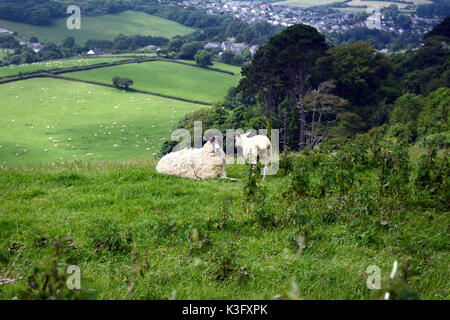 Two sheep on a hillside, above a larger flock on the edges of the town of Bridport, in Dorset, in southern England, - Stock Photo