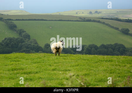 A single sheep on a hillside overlooking the English Channel, part of a larger flock on the edges of Bridport, in - Stock Photo