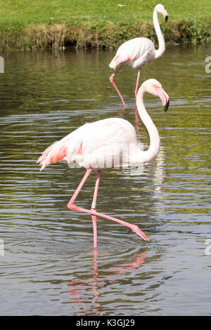 greater flamingo standing in a pond - Stock Photo
