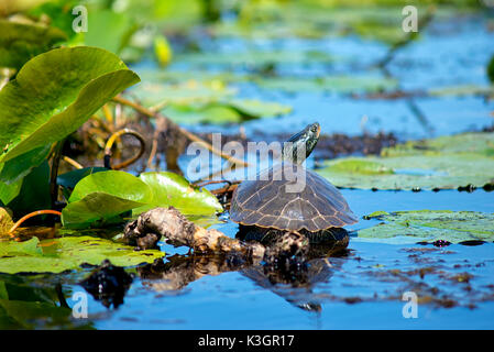 Close up of painted turtles on Point Pelee conservation area, a national park on southwestern Ontario. - Stock Photo