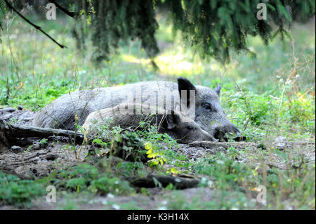 Wild boars, making a mess - Stock Photo