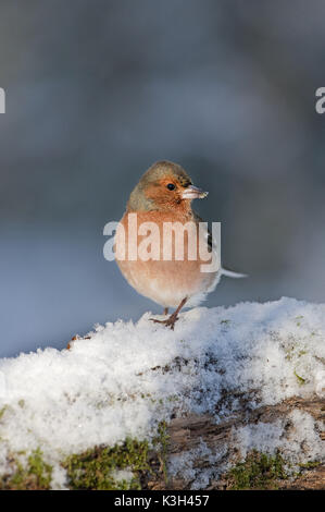 Common Chaffinch,  fringilla coelebs, Male standing in Snow, - Stock Photo