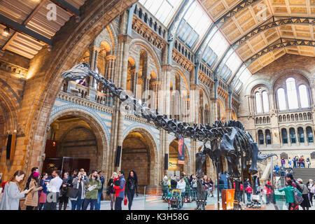 England, London, Kensington, Natural History Museum, Skeleton of Diplodocus Dinosaur - Stock Photo