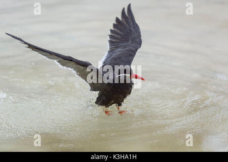 Inca Tern, Larosterna inca, Flying - Stock Photo