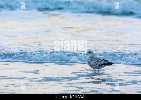 Juvenile Herring Gull, Larus argentatus, in Surf, Europe - Stock Photo