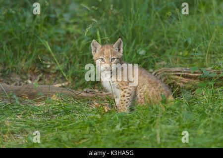 European Lynx, Lynx Lynx, Kitten, Germany - Stock Photo