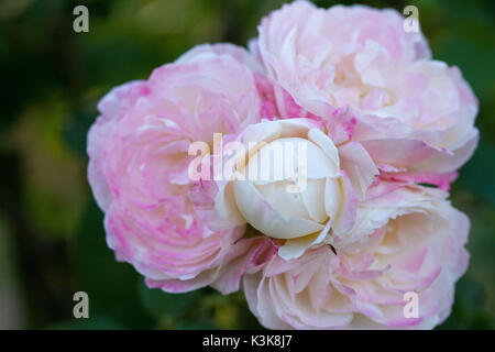 Roses of Bagatelle - Stock Photo